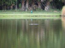 Alligatore di galleggiamento Fotografie Stock Libere da Diritti