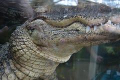 Alligatore di galleggiamento Immagine Stock