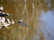 Alligatore di galleggiamento Fotografia Stock Libera da Diritti