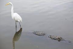 Alligatore di guida dell'egretta di Snowy Fotografia Stock Libera da Diritti