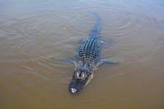 Alligatore di nuoto Immagine Stock Libera da Diritti