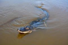 Alligatore di nuoto Fotografia Stock Libera da Diritti