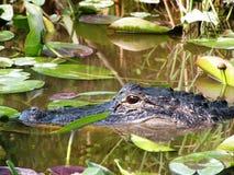Alligatore di nuoto in palude Fotografia Stock Libera da Diritti