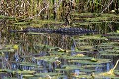 Alligatore di sonno Immagini Stock