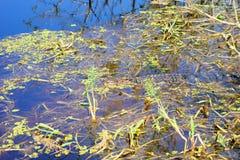 Alligatore di sonno Immagine Stock Libera da Diritti