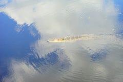 Alligatore di sonno Fotografia Stock Libera da Diritti