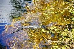 Alligatore di sonno Fotografia Stock