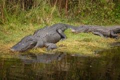 Alligatore di sonno su terra Immagine Stock