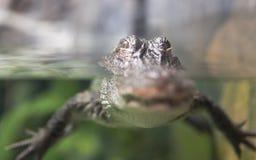 Alligatore di Yangtze Fotografie Stock Libere da Diritti