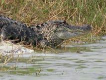 Alligatore a Ding Darling National Wildlife Refuge Fotografia Stock
