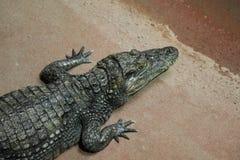 Alligatore e caimano del coccodrillo Fotografia Stock