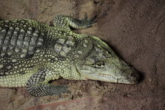 Alligatore e caimano del coccodrillo Fotografia Stock Libera da Diritti