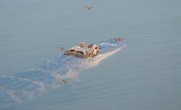 Alligatore e Dragonflys Immagine Stock Libera da Diritti