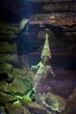 Alligatore e tartaruga Fotografia Stock Libera da Diritti