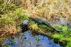 alligatore e tartaruga di sonno Immagini Stock Libere da Diritti