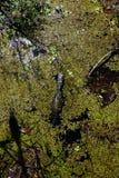 alligatore ed alghe Fotografia Stock