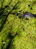 alligatore ed alghe Fotografie Stock