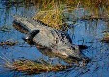 Alligatore enorme nei terreni paludosi Fotografia Stock Libera da Diritti
