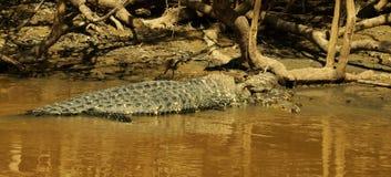 Alligatore enorme nel fiume dell'Amazonas Immagine Stock Libera da Diritti