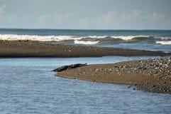 Alligatore enorme, Osa Peninsula, Costa Rica Immagini Stock Libere da Diritti