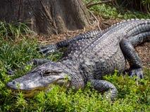 Alligatore in erba Immagine Stock