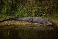Alligatore felice su terra Fotografia Stock