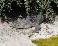 Alligatore feroce Fotografia Stock Libera da Diritti