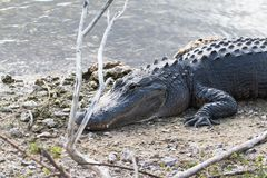 Alligatore in Florida Immagini Stock