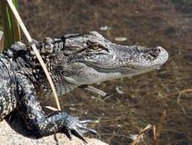 Alligatore giovanile Immagini Stock Libere da Diritti