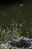 Alligatore, grande prerogativa nazionale di Cypress, Florida Immagine Stock