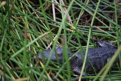 Alligatore grasso del bambino a Ocala, Florida Immagini Stock Libere da Diritti