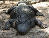 Alligatore grasso su terra Immagine Stock