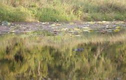 Alligatore Hidding in un ramo paludoso di fiume Fotografia Stock Libera da Diritti