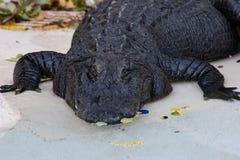 Alligatore impressionante Fotografie Stock