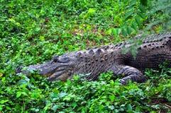 Alligatore informato Immagini Stock Libere da Diritti