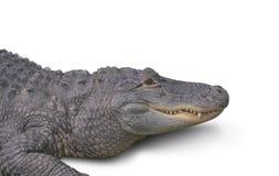 Alligatore isolato su bianco Fotografia Stock