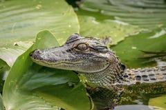 Alligatore a John Chestnut Sr Sosta Immagini Stock Libere da Diritti