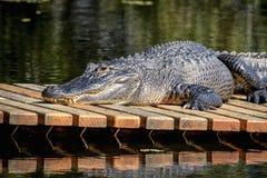 Alligatore a John Chestnut Sr Sosta Fotografia Stock