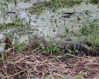 Alligatore lungo il litorale Immagine Stock Libera da Diritti