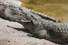 Alligatore Mississippi di Crocodylia Fotografia Stock