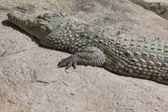 Alligatore Mississippi di Crocodylia Fotografia Stock Libera da Diritti