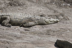 Alligatore Mississippi di Crocodylia Immagine Stock Libera da Diritti