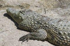 Alligatore Mississippi di Crocodylia Fotografie Stock Libere da Diritti
