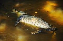 Alligatore morto che galleggia sulla pancia su una sponda del fiume Fotografie Stock