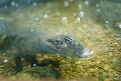 Alligatore a Mosca Oceanarium Fotografia Stock Libera da Diritti