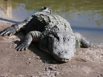 Alligatore in Myrtle Beach Aquarium Fotografie Stock Libere da Diritti