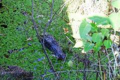 Alligatore nascosto Fotografia Stock Libera da Diritti