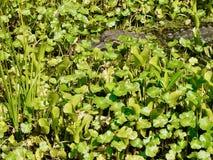 Alligatore nascosto Immagini Stock Libere da Diritti