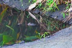 Alligatore nascosto Immagini Stock