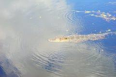 Alligatore nascosto Fotografie Stock